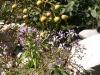 Aleli flor fruto