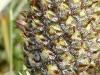 Ananas detalle fruto
