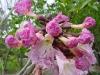 Apamate flor