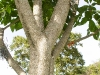 Apamate tronco