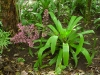 Bromelia Spectabilis Planta