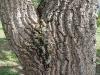 Bucare detalle tronco