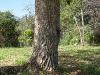 Bucare tronco