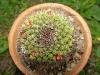 Buchito planta
