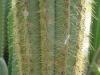 Cardon amarillo detalle planta