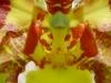 Cebolleta Sabanera Detalle Flor