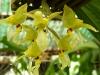 Cebolleta Sabanera  Flor