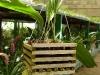 Cebolleta Sabanera Planta