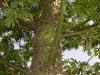 Ceiba tronco