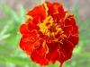 Clavel de muerto flor