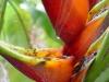 Platanillo flor
