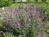 Salvia jardin hábito