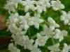 Sauco detalle flor