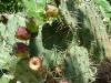 Tuna brava de miller fruto