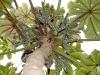 Yagrumo tallo y fruto