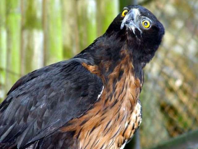 Nombre Com&uacute;n: Aguila de Copete <br/><br/> Nombre Cient&iacute;fico: Oroaetus isidori<br/><br/>Familia: Accipitridae.