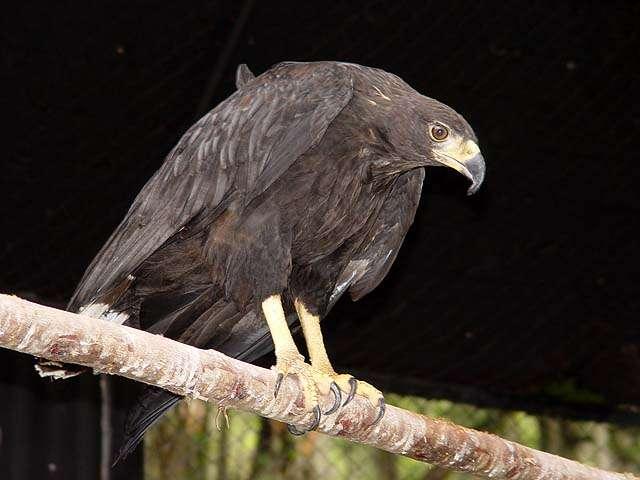 Nombre Com&uacute;n: Aguila Negra. <br/><br/> Nombre Cient&iacute;fico: Buteogallus urubitinga.<br/><br/>Familia: Accipitridae.