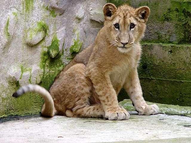 Nombre Com&uacute;n: León. <br/><br/> Nombre Cient&iacute;fico: Panthera leo.<br/><br/>Familia:  Felidae.