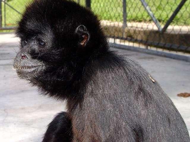Nombre Com&uacute;n: Mono Araña Negro. <br/><br/> Nombre Cient&iacute;fico: Ateles paniscus.<br/><br/>Familia: Cebidae.
