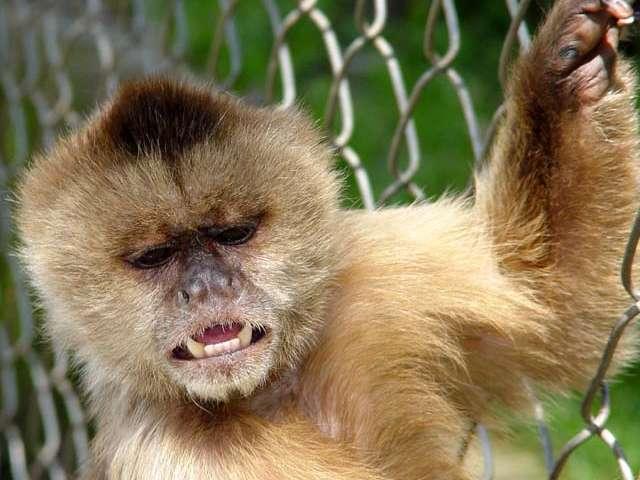 Nombre Com&uacute;n: Mono Capuchino. <br/><br/> Nombre Cient&iacute;fico: Cebus olivaceus.<br/><br/>Familia: Cebidae.