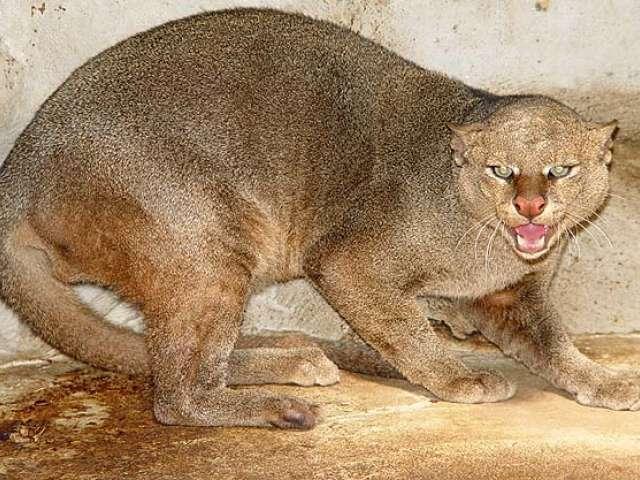 Nombre Com&uacute;n: Onza ó Gato Montéz. <br/><br/> Nombre Cient&iacute;fico: Herpailurus yaguaroundi.<br/><br/>Familia: Felidae.